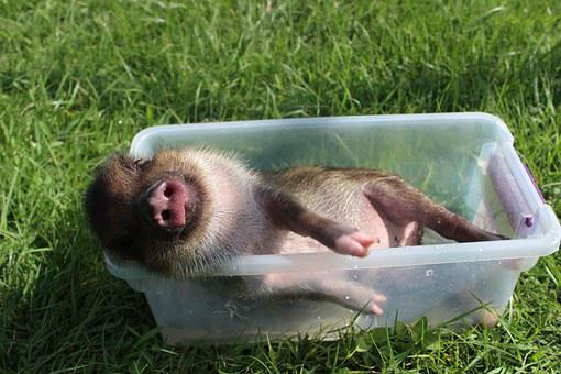 Chipmunk Pig, Piggy, Happy, Bathing, Joy, Relax