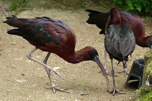 Glossy Ibis, Bird, Bill, Plegadis Falcinellus
