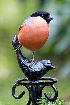 Bullfinch, Pyrrhula, Male, Bird, Animal, Winter, Garden