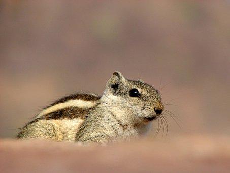 Siberian Chipmunk, Pet, Animal, Rodent, India, Bronze
