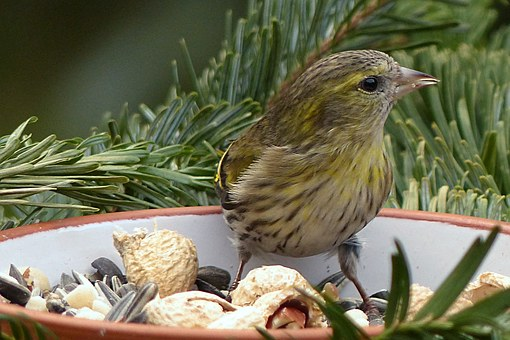 Cape Canary, Serinus, Female, Bird, Animal, Winter