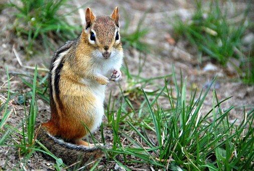 Chipmunk, Animal, Nature, Wildlife, Mammal, Small