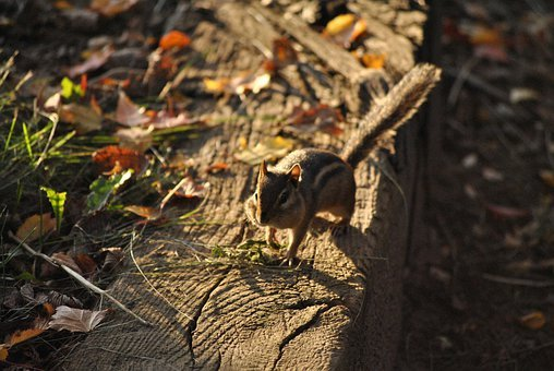 Chipmunk, Squirrel, Rodent, Animal, Nature, Wildlife