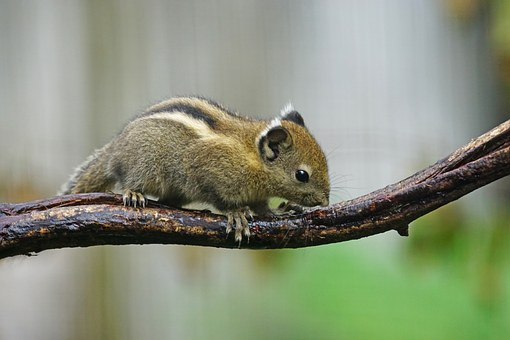 Tree Chipmunks, China, Rodent, Chipmunk, Creature