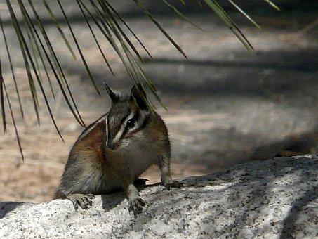 Chipmunk, Desert, Tree, Stem, Animal, Mammal, Nature