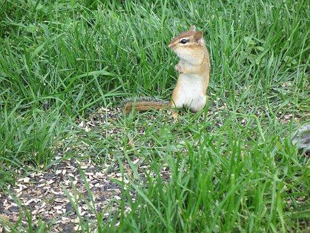 Chipmunk, Squirrel, Small, Cute, Wildlife, Rodent
