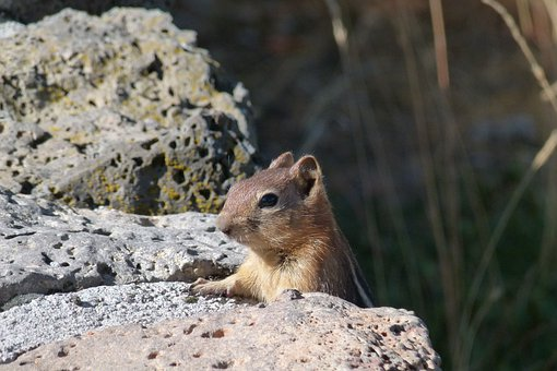 Chipmunk, Animal, Mammal, Rodent, Small, Cute, Head