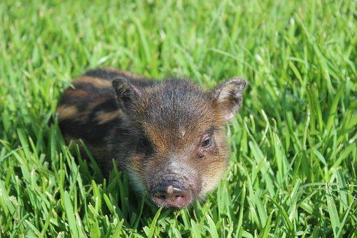 Chipmunk Pig, Cute, Watermelon, Small Pig, Grass