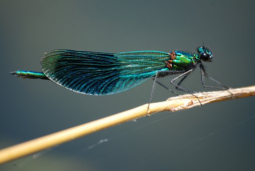 Damsel Fly, Banded Demoiselle, Insect, Macro