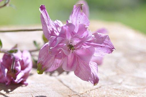 Columbine, Flower, Plant, Blossom, Bloom, Pink