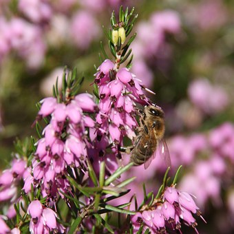 Hover Fly, Flowers, Fly, Insect, Nature, Hover, Macro