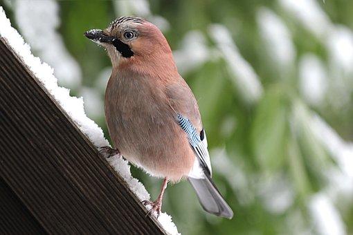 Animal, Bird, Jay, Garrulus Glandarius, Winter, Garden