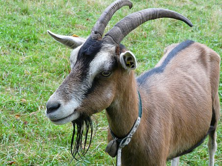 Goat, Billy Goat, Goatee, Horns, Domestic Goat
