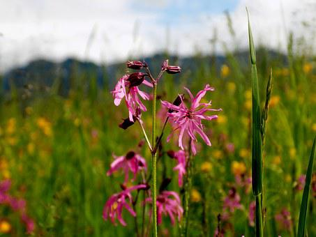 Wild Flower, Columbine, Nature, Blossom, Bloom, Meadow