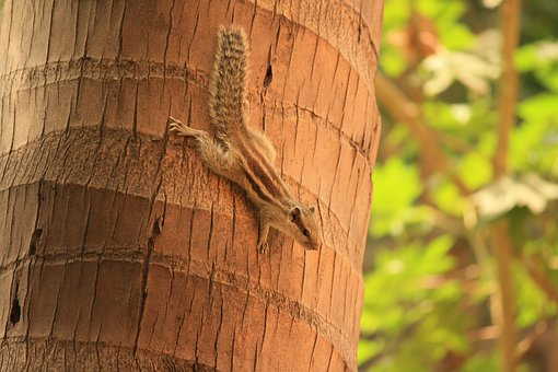 Squirrel, Climbing, Down, Moving, Fast, Tree, Brown