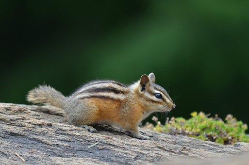 Chipmunk, Outside, Partk, Animal, Nature, Wild, Mammal