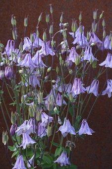 Columbine, Flowers, Summer, Flora, Garden, Plant