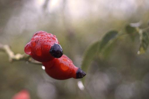 Rosehips, Bush, Crop, Red, Just Add Water, Raindrop