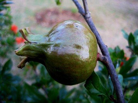 Fruit, Pomegranate, Round, Plump, Green, Shiny, Stem