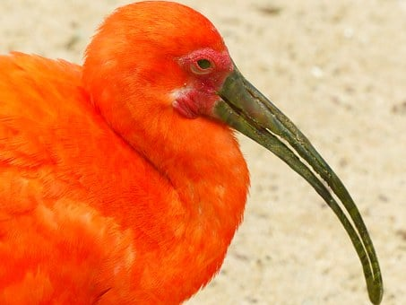 Scarlet Ibis, Bird, Red, Bright Red, Orange, Colorful