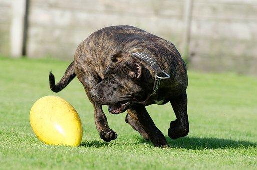 Canary Mastiff, Dog, Pet, Toys, Race