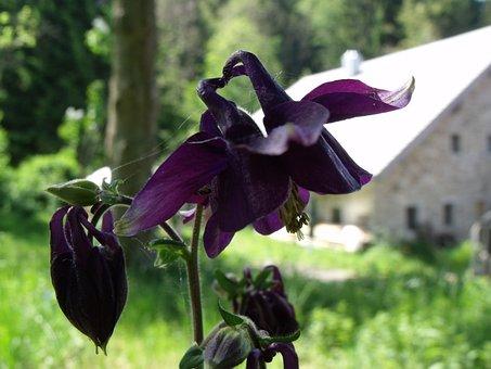Columbine, Flower, Nature, Dark Purple, Flora, Violet
