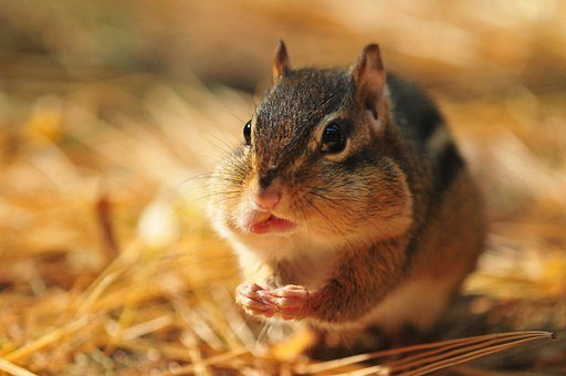 Chipmunk, Rodent, Fall, Wild, Squirrel, Adorable