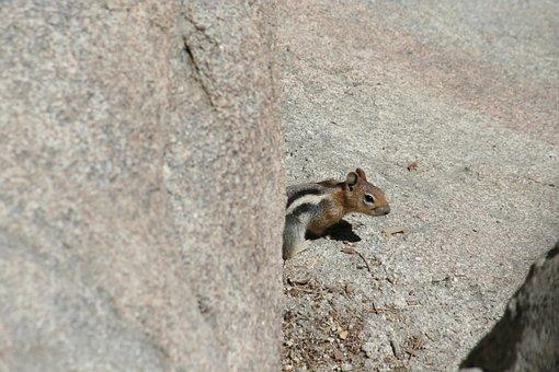 Chipmunk, Critter, Creature, Animal, Cute, Wildlife