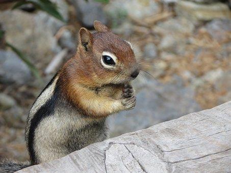Squirrel, Chipmunk, Nature, Wildlife, Animals, Rodent