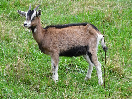 Goat, Young Animal, Horns, Domestic Goat