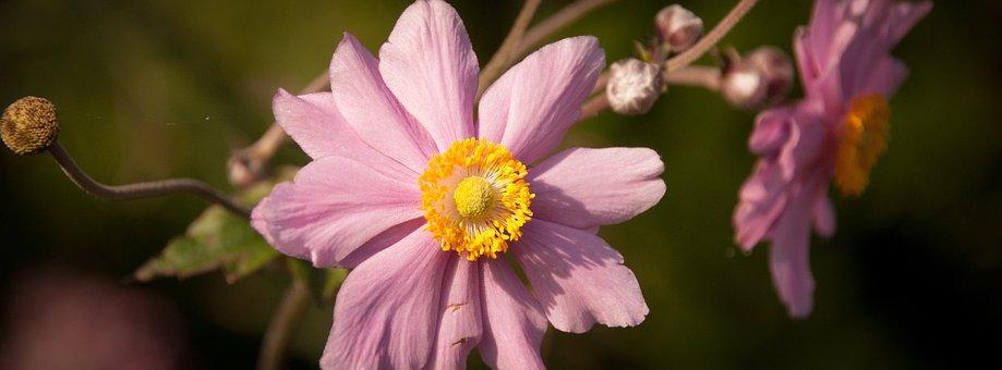 Flower, Pink, Anemone, Autumn, Petal, Japanese Anemone