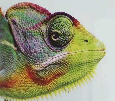 Chameleon, Animal, Reptile, Eye, Color, Camouflage