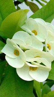 Green Euphorbia, Flower, Green Flower, Plants, Blossom
