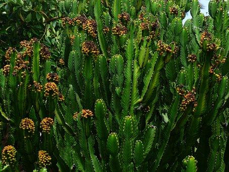 Triangular Spurge, Plant, Blossom, Bloom