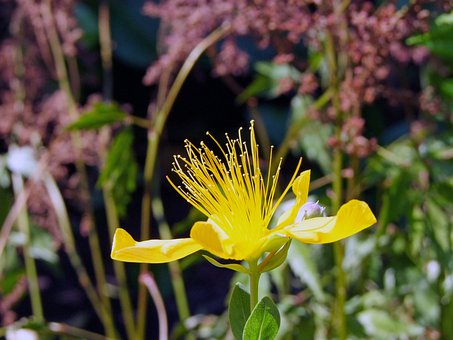 Wort, Hypericum Perforatum, Yellow, Blossom, Bloom