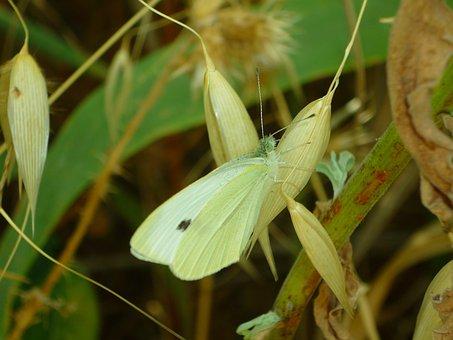 Mimicry, Butterfly, Pieris, Brassicae