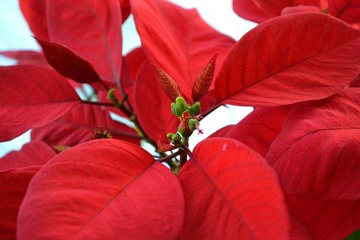 Poinsettia, Christmas Star, Euphorbia Pulcherrima