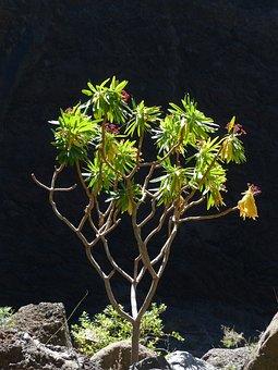 Spurge, Euphorbia Atropurpurea, Back Light