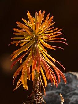 Cypress Wolfsmilch, Euphorbia Cyparissias