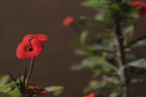 Crown Of Thorns, Euphorbia Shaft, Flower, Nature, Green