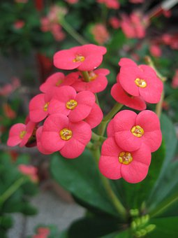 Thorn, Euphorbia, Flower, Blossom, Bloom, Red, Pink
