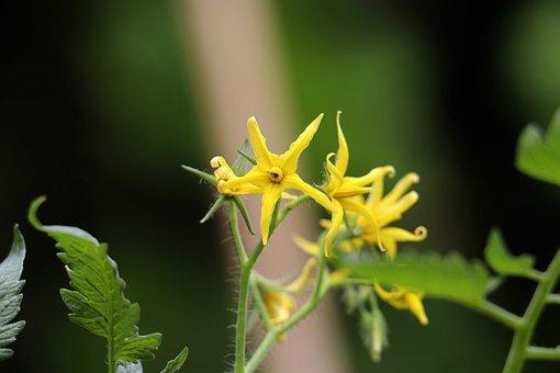 Tomato Flower, Flower, Beauty, Nature, Tomatoflower