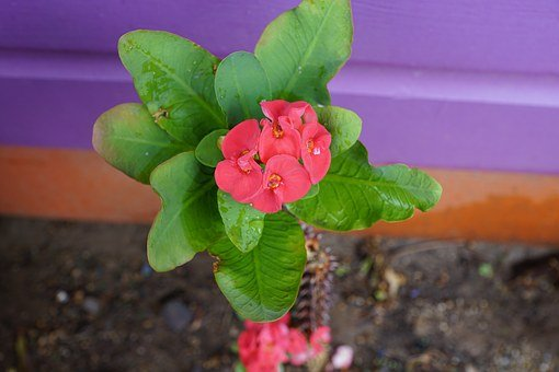 Thorn, Flower, Red, Euphorbia Milii