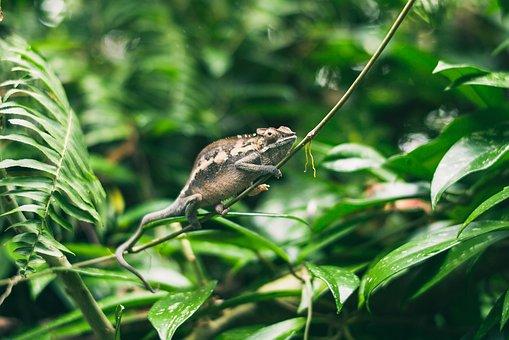 Animal, Animal Photography, Chameleon, Close-up, Forest