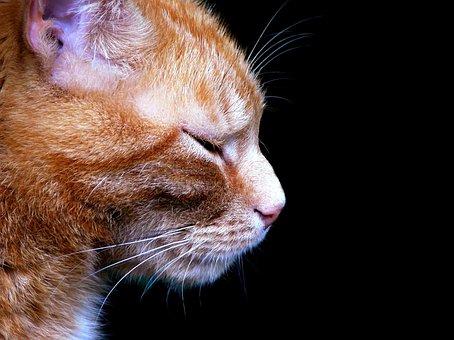 Cat, Animal, Pet, Cat Face, Head, Domestic Cat