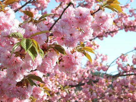 Cherry, Takayama, Hida, Yasukunidera, Japan, Floral