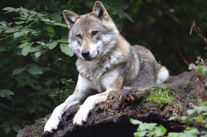 Wolf, Concerns, Forest, Predator, Canine, Isegrim