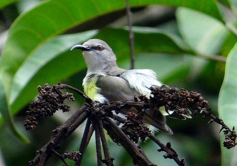 Purple-rumped Sunbird, Leptocoma Zeylonica, Sunbird