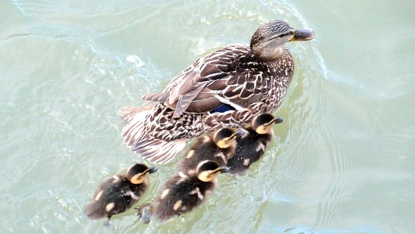 Family, Ducks, Mallard, Pond, Water, Palmípeda