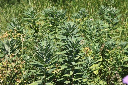 Characias, Environment, Euphorbia, Herbs, Natural